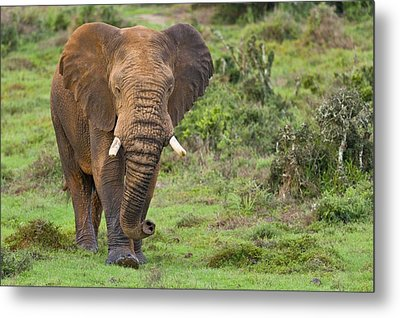 African Elephant Metal Print by Science Photo Library
