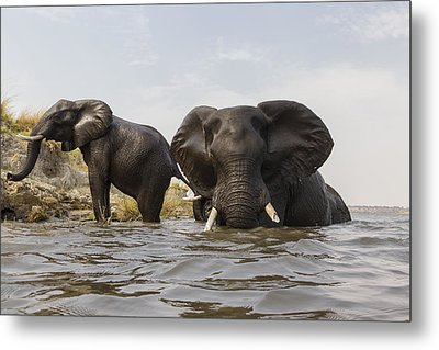 African Elephants In The Chobe River Metal Print