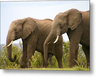 African Elephants Metal Print by Menachem Ganon