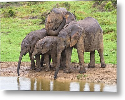 African Elephants Metal Print by Science Photo Library
