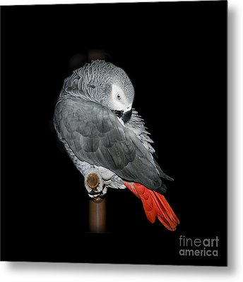 African Grey Parrot Metal Print by Betty LaRue