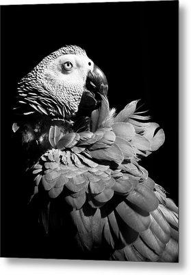 African Grey  Metal Print by Paulina Szajek
