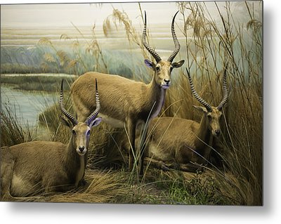 African Impalas Metal Print by Diego Re