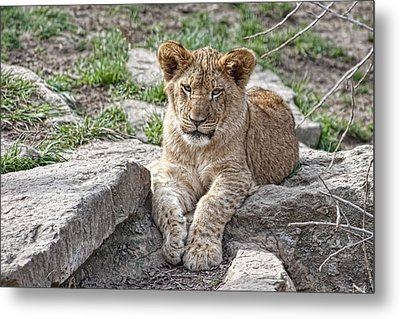 African Lion Cub Metal Print by Tom Mc Nemar