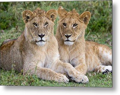 African Lion Juvenile Males Serengeti Metal Print by Erik Joosten