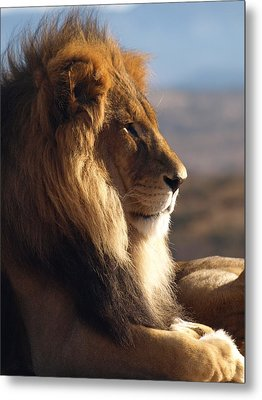 African Lion Metal Print by James Peterson