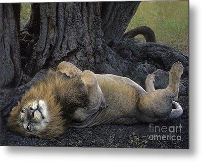 African Lion Panthera Leo Wild Kenya Metal Print by Dave Welling