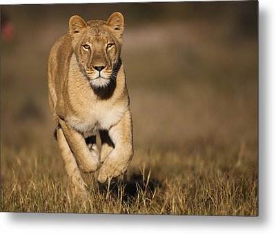 African Lioness Sirga Running Kalahari Metal Print