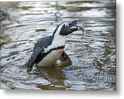 African Penguin Eating Fish Metal Print