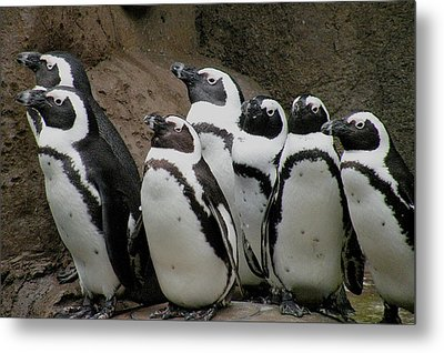 African Penguins Metal Print by Brian Chase