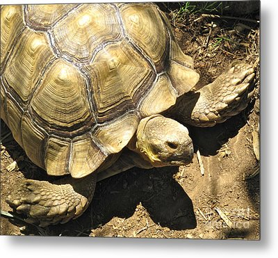 African Spurred Tortoise Metal Print by CML Brown