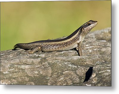 African Striped Skink On A Rock Metal Print by Science Photo Library