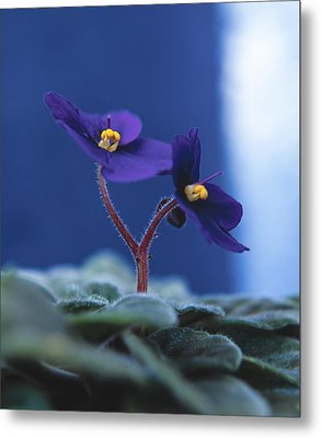 Metal Print featuring the photograph African Violet by Lana Enderle