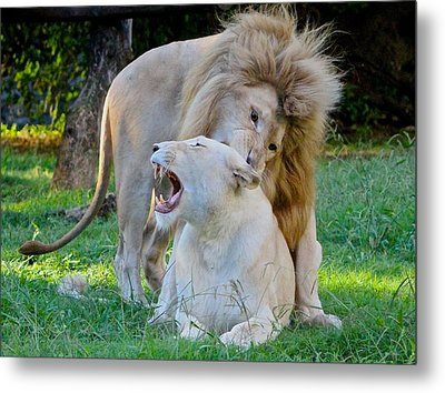 African White Lions Metal Print