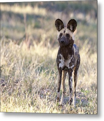 African Wild Dog  Lycaon Pictus Metal Print by Liz Leyden
