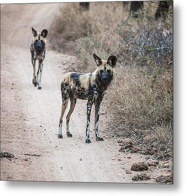 African Wild Dogs Metal Print by Craig Brown