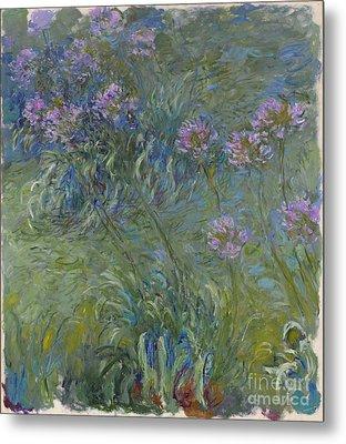 Agapanthus Flowers 1914-17 Metal Print