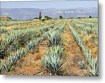 Agave Cactus Field In Mexico Metal Print by Elena Elisseeva