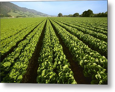 Agriculture - Field Of Mid Growth Metal Print by Ed Young