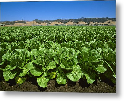 Agriculture - Field Of Romaine Lettuce Metal Print