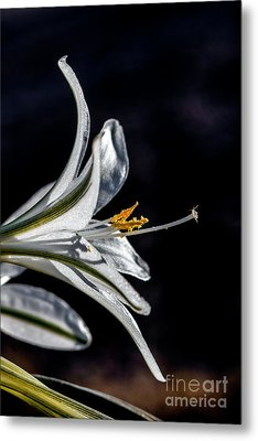 Ajo Lily Close Up Metal Print by Robert Bales
