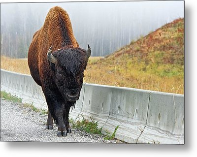 Alaska Hwy Bison Metal Print by Scott Holmes