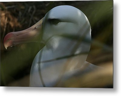 Metal Print featuring the photograph Albatross by Amanda Stadther
