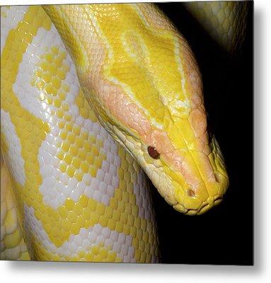 Albino Burmese Python Metal Print