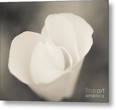 Albino Mexican Gold Poppy Metal Print