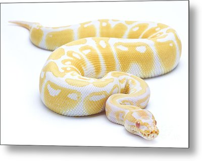 Albino Royal Python Metal Print by Michel Gunther