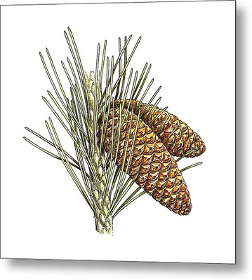 Aleppo Pine (pinus Halepensis) Cones Metal Print by Science Photo Library