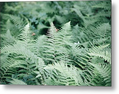 Metal Print featuring the photograph Algonquin Ferns by David Porteus