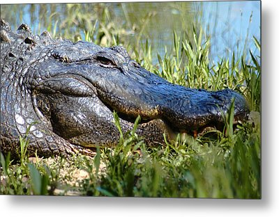Alligator Smiling Metal Print by Bob Pardue