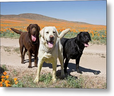 All Three Colors Of Labrador Retrievers Metal Print by Zandria Muench Beraldo