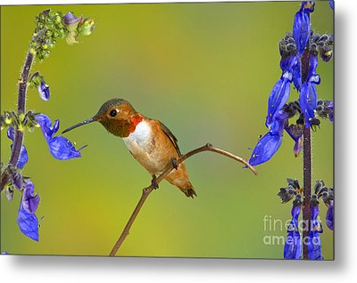 Allens Hummingbird Metal Print by Anthony Mercieca