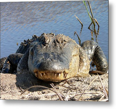 Alligator Approach Metal Print by Al Powell Photography USA