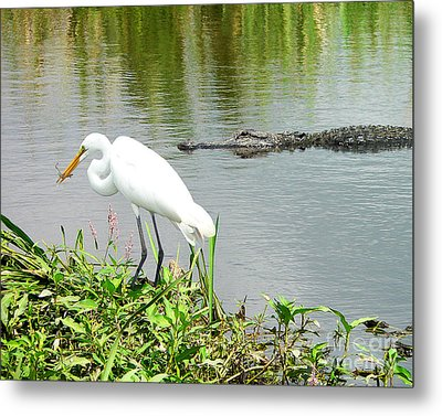 Alligator Egret And Shrimp Metal Print by Al Powell Photography USA