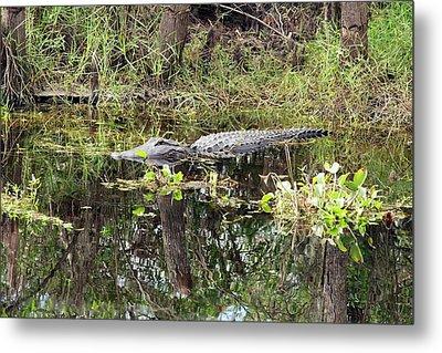 Alligator In Swamp Metal Print by Jim West