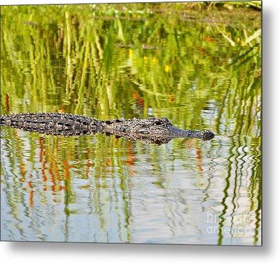 Alligator Reflection Metal Print by Al Powell Photography USA