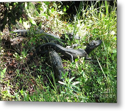 Alligatorbabys Waiting For Mommy Metal Print by Christiane Schulze Art And Photography