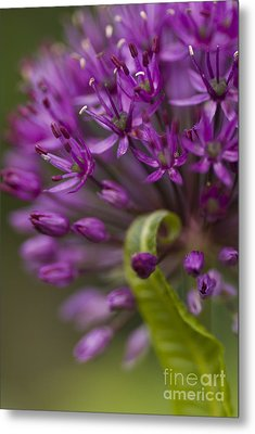 Allium Curl Metal Print by Anne Gilbert