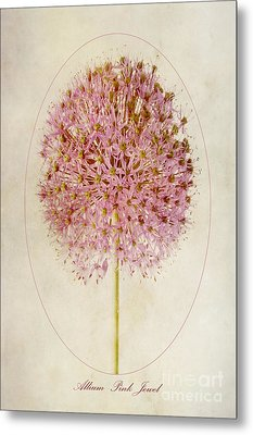 Allium Pink Jewel Metal Print by John Edwards