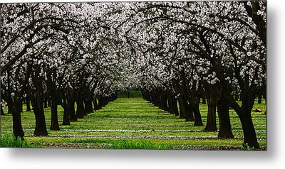 Almond Orchard Metal Print