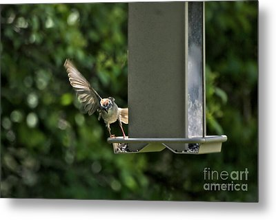 Metal Print featuring the photograph Almost A Ruff Bird Landing by Thomas Woolworth