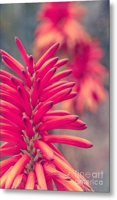 Aloe Arborescens Mill. - Xanthorrhoeaceae - Krantz Aloe - Candelabra Aloe - Maui Hawaii  Metal Print by Sharon Mau