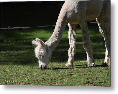 Alpaca - National Zoo - 01134 Metal Print by DC Photographer