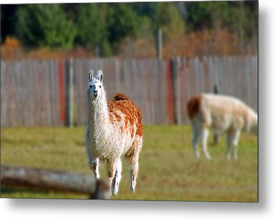 Alpaca Metal Print by Rhonda Humphreys