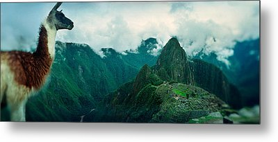 Alpaca Vicugna Pacos On A Mountain Metal Print by Panoramic Images