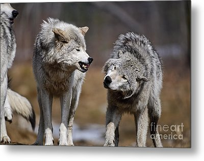 Metal Print featuring the photograph Alpha Displeasure by Wolves Only