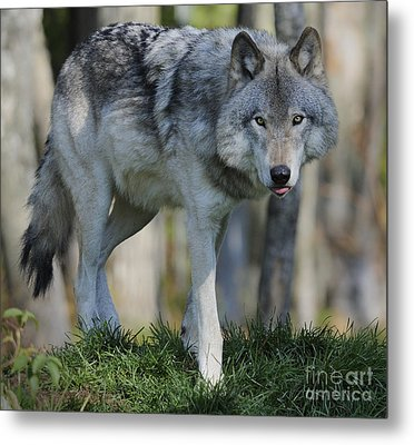 Alpha... Metal Print by Nina Stavlund
